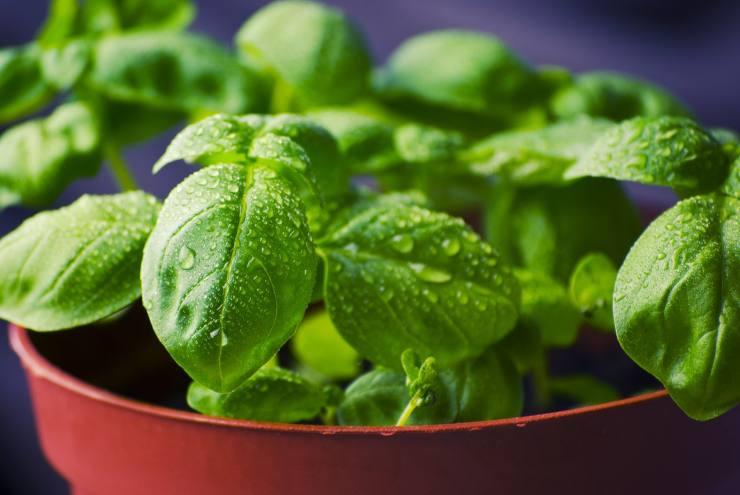 Come coltivare le erbe aromatiche