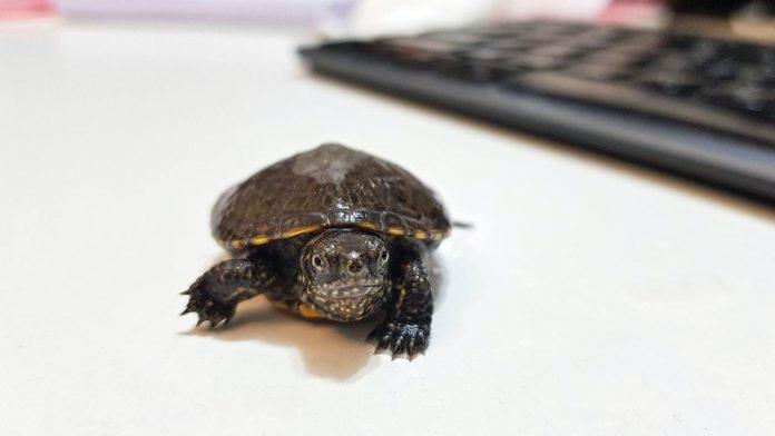 tartarughe acqua dolce