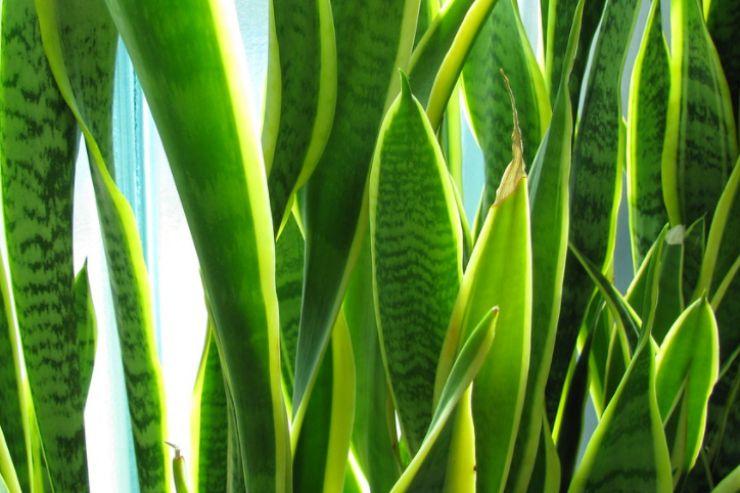 Lingua di suocera: consigli utili su come coltivarla