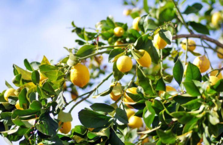 Pianta di limone: consigli utili su cura e potatura