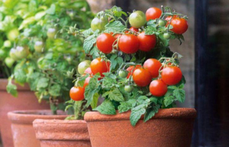 Come coltivare pomodori in vaso: i consigli da seguire