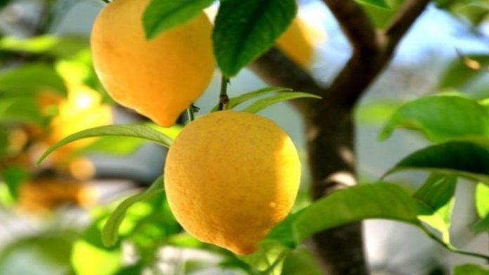 Pianta di limone consigli