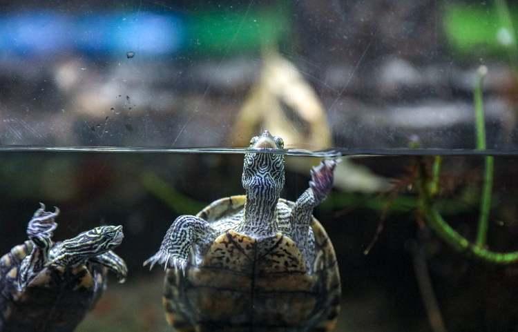 tartarughe in acqua dolce