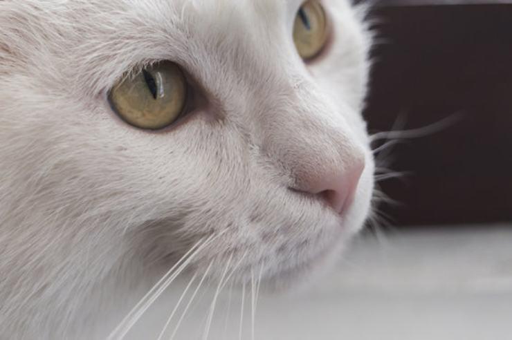 Come eliminare l'odore di pipì del gatto
