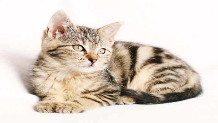 Vermi nel gatto: sintomi e rimedi