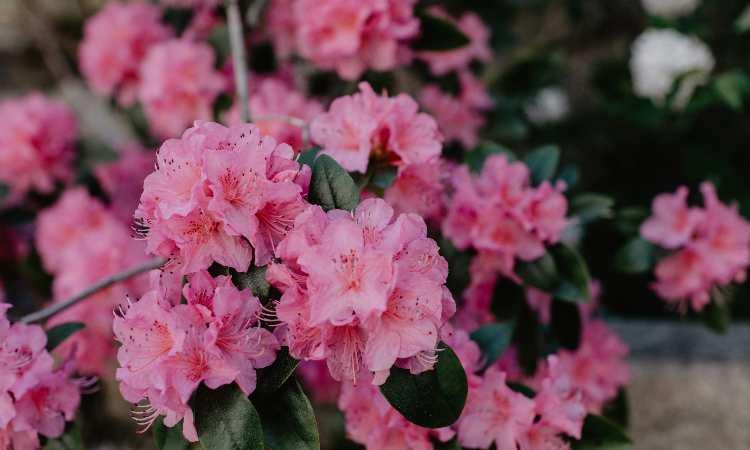 rododendro coltivazione