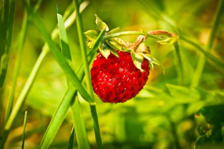 come coltivare fragole