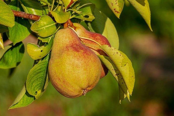 La pera fa ingrassare? Le risposte a tutti i dubbi