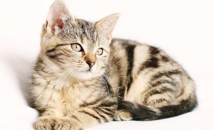 Allergia al pelo di gatto