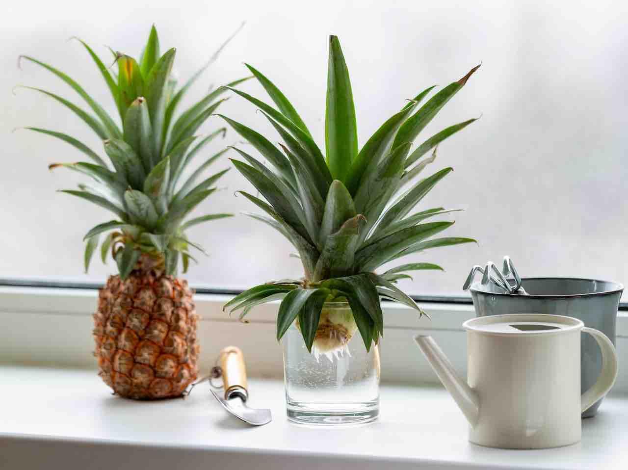 coltivare ananas pianta