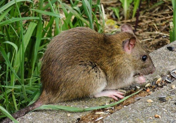 Invasione dei ratti in giardino: come allontanarli definitivamente