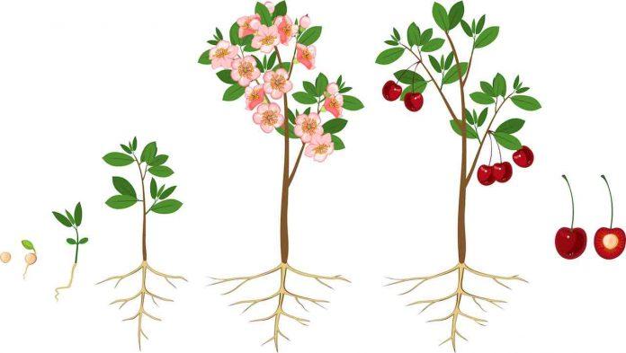 dal nocciolo alla pianta ciliegie