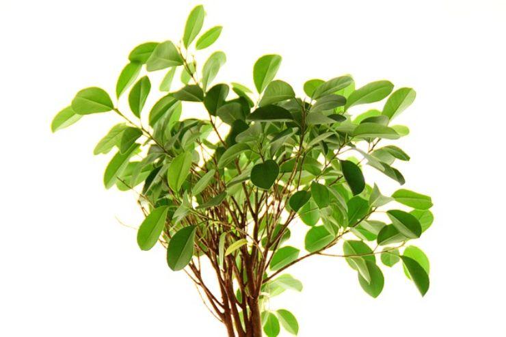 Ficus benjamin: le cure necessarie per mantenerlo in salute