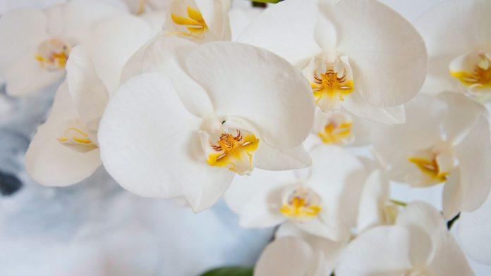 Radici orchidea marce: cause e rimedi