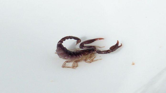 Scorpioni in casa: 4 accorgimenti da adottare per allontanarli