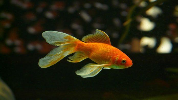 Liberare pesci rossi nei fiumi o nei laghi: ecco perchè non bisogna farlo