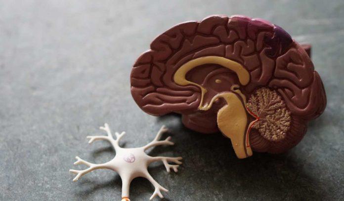 Cervello uomo testicoli