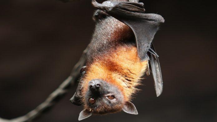 I pipistrelli sono pericolosi per l'uomo? La verità su questi animali