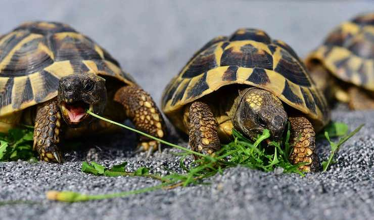 tartarughe di terra mangiano erba